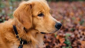 11 Best Dog Food For Golden Retrievers Updated For 2019