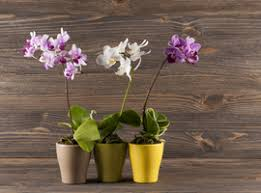 moth orchids phalaenopsis spp are beautiful and very por orchids that are native to forests in tropical asia often given as gifts they have stunning