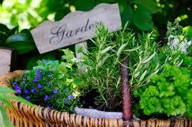 Herb Garden Start A Spring Herb Garden Yogi Tea