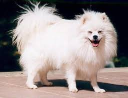 volpino italiano means little italian fox it is a spitz breed with long thick fur a curly tail and small pointed ears the breed dates back thousands