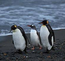 penguin. Contemporary Penguin Two King Penguins And One Gentoo Penguin On A Beach South Georgia  British Overseas Territory Intended Penguin K