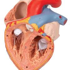 Anatomical Heart Model | Anatomy of the Heart | Heart Model with Esophagus  and Trachea