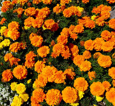 marigold bedding plants jpg