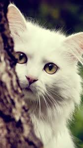 cat wallpaper iphone 5. Interesting Cat White Cat Wallpaper With Iphone 5 A