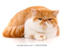 exotic shorthair orange and white. Delighful Exotic Closeup Funny Portrait Of Red White Exotic Cat To Shorthair Orange And