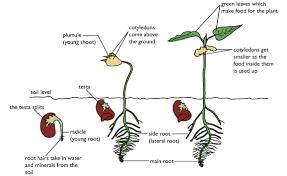 Bean Seed Germination Diagram Seed Germination Bean Seeds