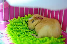 pin on piggies guinea pigs that is