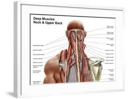 Structure and function (6th ed.). Human Anatomy Showing Deep Muscles In The Neck And Upper Back Art Print Art Com