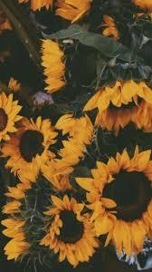 super sunflower 4k ultra hd wallpapers hx6114693