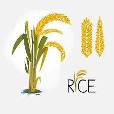 rice plant clipart. Fine Clipart Rice Set Letter  Vector Illustration Illustration In Rice Plant Clipart I