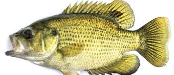 A Few Important Freshwater Fish Identification Tips