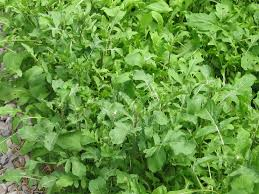 garden journal 5 13 06 bolting arugula and some arugula growing tips