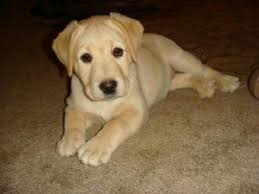 yellow lab puppies for sale. Brilliant Yellow English Black And Yellow Lab Puppies With Champion Bloodlin 8672 Miles And Yellow Lab Puppies For Sale R