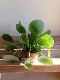thick round green peperomia jase peperomia jadi houseplant