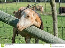 Friendly Lamancha Goat Stock Image Image Of Meadow 105360555