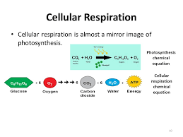 10 cellular respiration cellular respiration is almost a mirror image of photosynthesis photosynthesis chemical equation