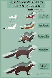 Ferret Color Chart Bats Weasels Ferret Colors Pine Marten Ferret