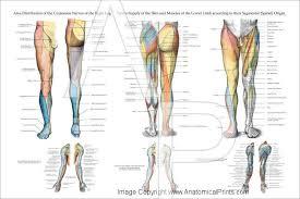 Leg Muscle Innervation Chart