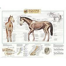 Equine Skeletal Anatomy Laminated Chart Poster