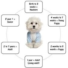 Puppy Age Chart Maltese Puppy And Dog Age Equivalence Milestones