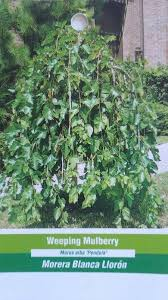 Dwarf Weeping Mulberry Bush  3 GallonTeas Weeping Fruiting Mulberry Tree