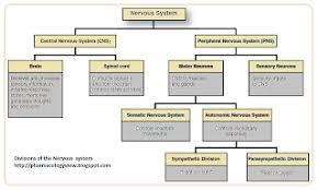 Nervous System Flow Chart Evelias Nervous System