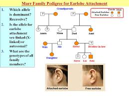 Pedigree Chart For Free Or Attached Earlobes Most Popular Pedigree Chart For Free Or Attached Earlobes