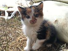 fluffy baby calico kittens. Simple Calico Calico Cat On Fluffy Baby Kittens I