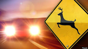 Image result for CAR VS. DEER AAA