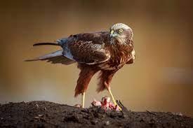 Harrier (bird) - Wikipedia