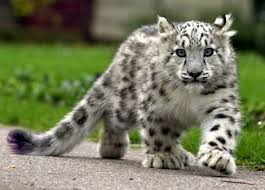 baby white cheetah. Unique Baby White Cheetah Cub For Baby Cheetah 0