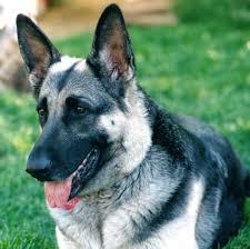 black and silver german shepherd. Interesting And Intended Black And Silver German Shepherd L