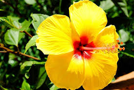 hibiscus flowers hibiscus flower plant yellow gudhal buy plants online