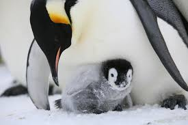 baby emperor penguin hatching. Emperor Penguin Chick Peeking Out From Under Its Brood Flap And Baby Hatching