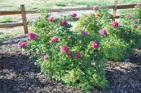 plant photo of rosa rugosa f j grootendorst