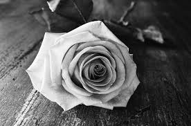 free photo rose flower black white free image on pixabay