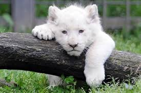 baby white lion with blue eyes. Picture Of The Day White Lion Cub Meets World And Baby With Blue Eyes