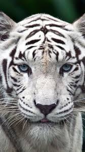 white tiger with blue eyes tattoo.  Eyes Animalsarehype White Tiger  Never Be Afraid To Get Close Throughout With Blue Eyes Tattoo N