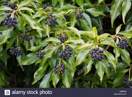 Ivy Berries High Resolution Stock Photography and Images - Alamy