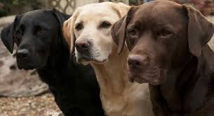 Labrador Color Chart Labrador Colors The Secrets Of Labrador Color Inheritance
