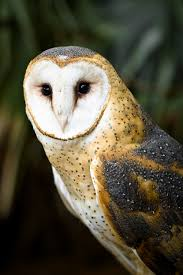 barn owls eat large numbers of rodent pests