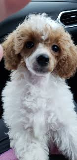 red and white parti color toy poodles red and white parti color toy poodle breeder