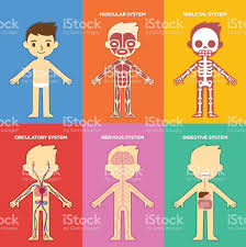 data chart for kids. Anatomy Chart For Kids Royalty-free Stock Vector Art \u0026amp; Data G