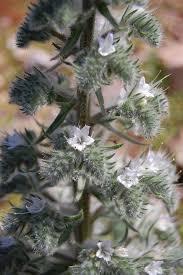 Echium italicum - Wikipedia, la enciclopedia libre