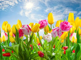 spring tulip desktop wallpaper. Perfect Desktop Spring Tulips  Flowers U0026 Nature Background Wallpapers On Desktop Nexus  Image 1961690 Throughout Tulip Wallpaper