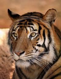 tiger face by snap2art mostphotos