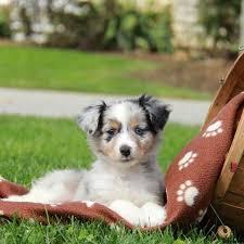 australian shepherd miniature puppies for