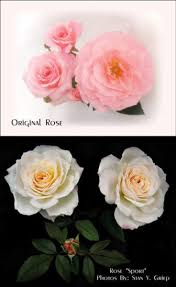 why are my roses changing color learn