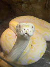 new the world s biggest snakes
