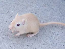 Rodents Lower Classifications Gerbil Rodent Britannica